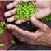 Orphan no more: Genomic boost to chickpea yield, climate resilience